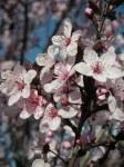 Blossoms (Prunus)