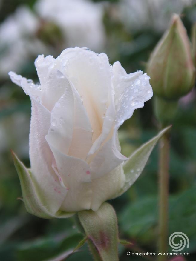 Iceberg rosebud