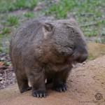 Bare Nosed Wombat yawning