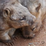 Hairy Nosed Wombats
