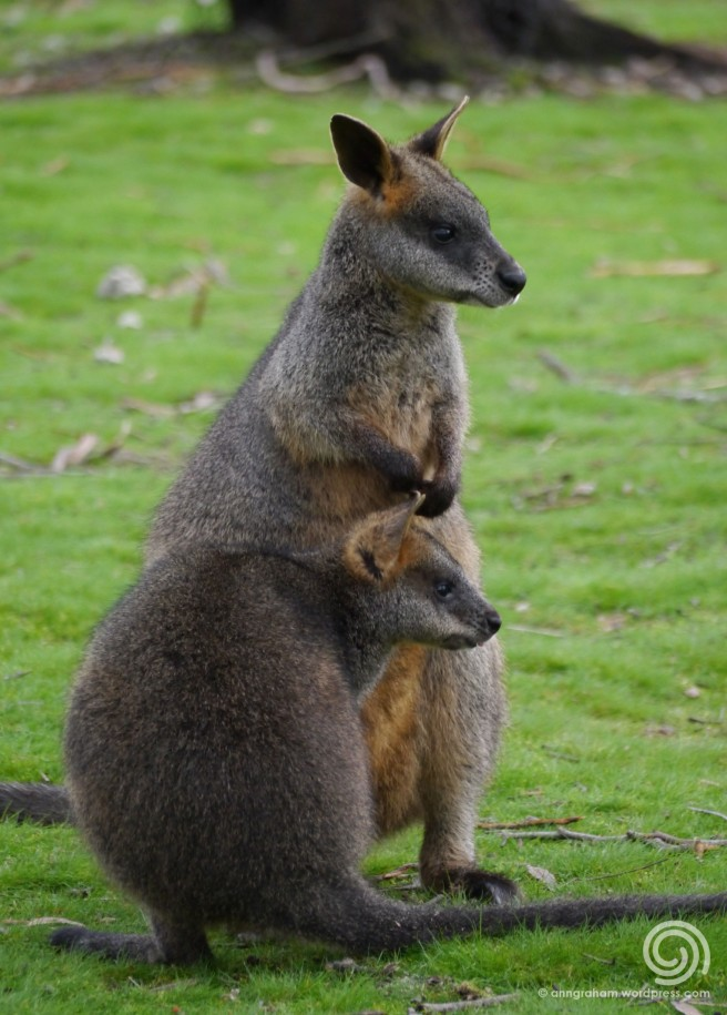 Swamp Wallabies