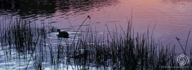 On Purple Pond