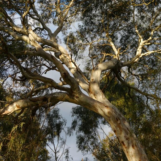 Eucalyptus Arms